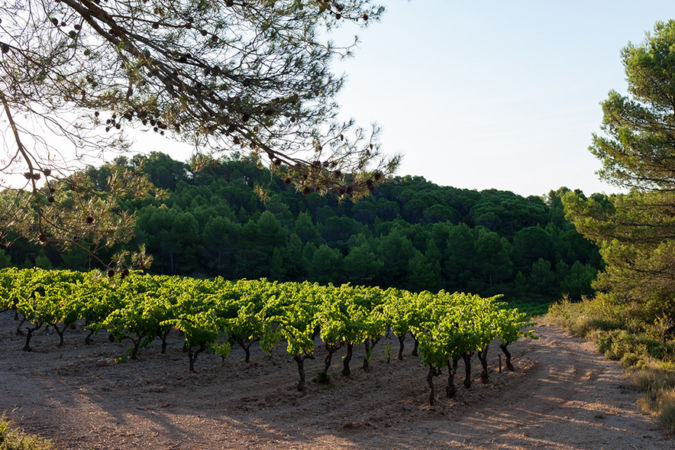 John Hegarty's vineyard in southern France