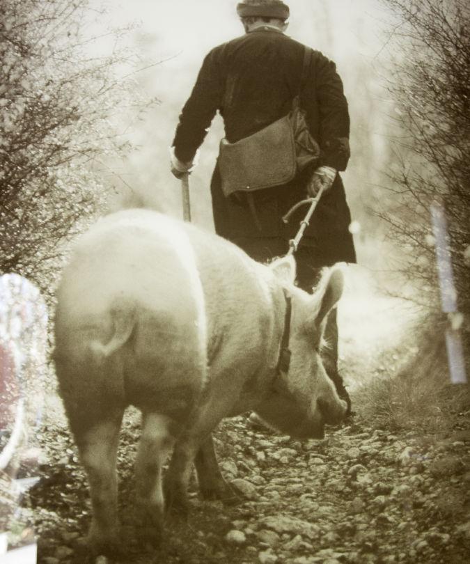 A truffle pig