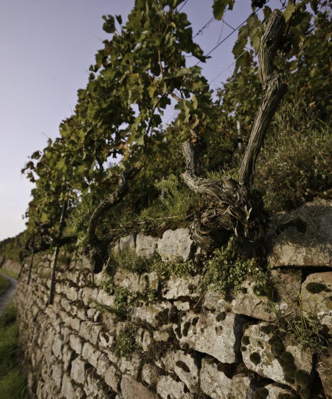 A Pinot Noir vineyard in Klingenberg, Franken