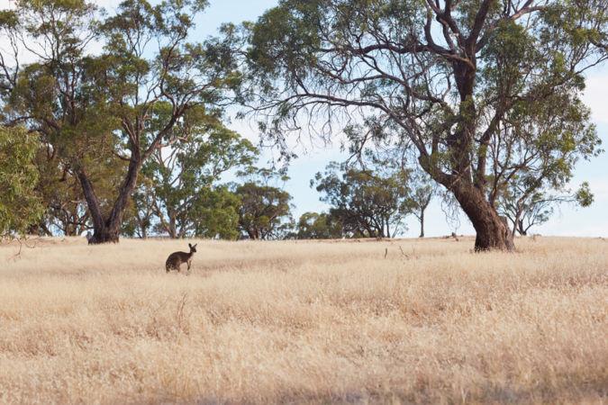 More local wildlife around Langmeil - Australian Shiraz producer
