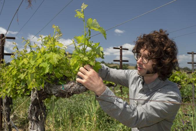 Gislason tending vines