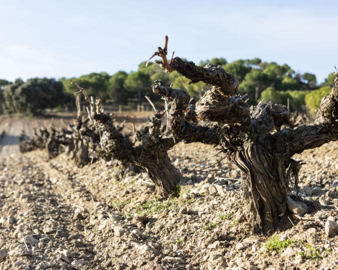 Vega vineyards in Spain