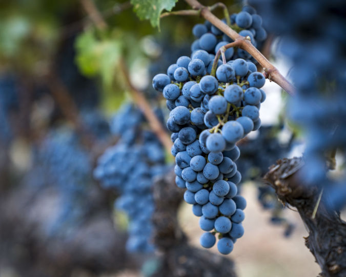 Black grapes from the Napa Valley Reserve