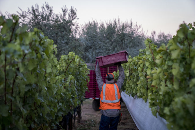 Vineyard worker carrying a crate of grapes