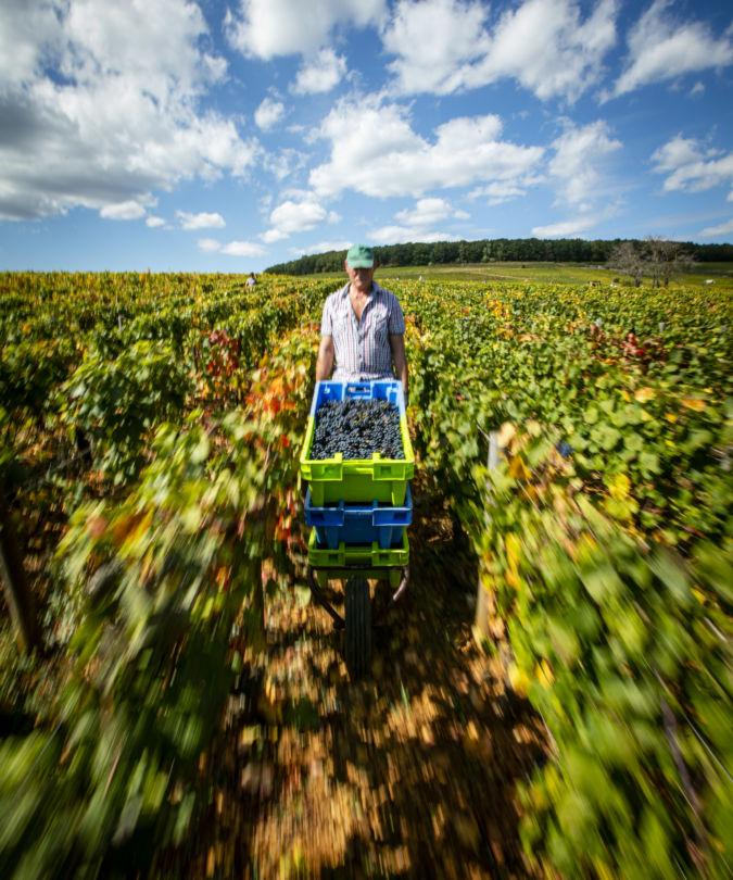 Harvesting in the vineyard at Maison Louis Jadot