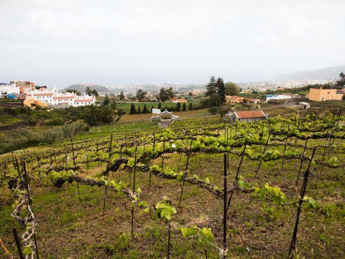 The vineyard at Suertes del Marqués