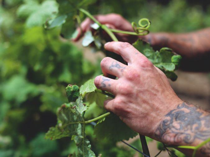 Brian Baldissin, a prisoner on penal colony, works in winemaker Marquise Lamberto Frescobaldi's vineyard on Gorgona island