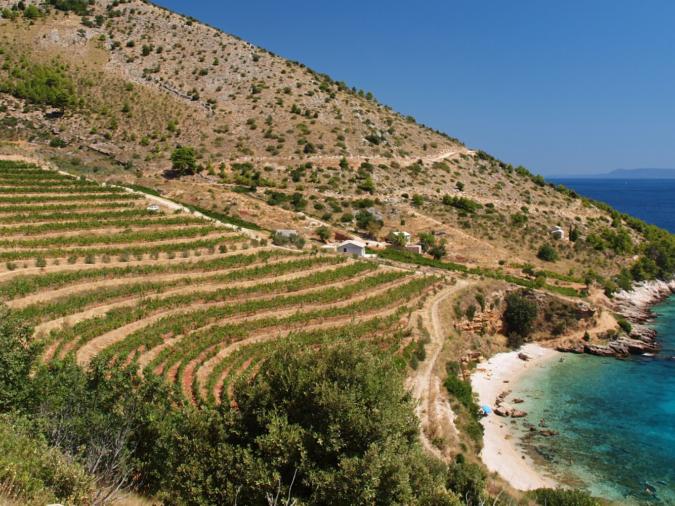 Croatian vineyard