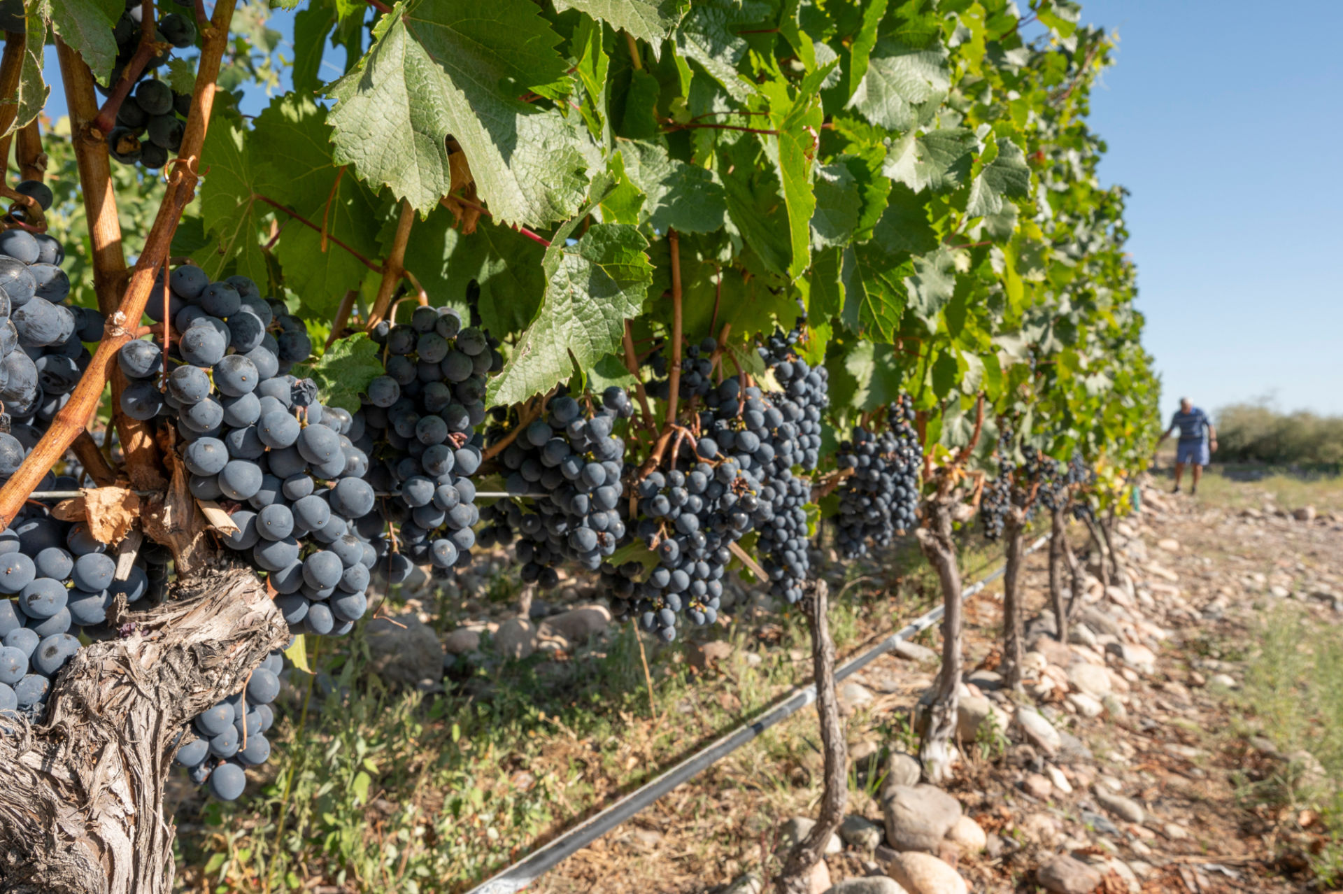 Corazon del Sol vineyard