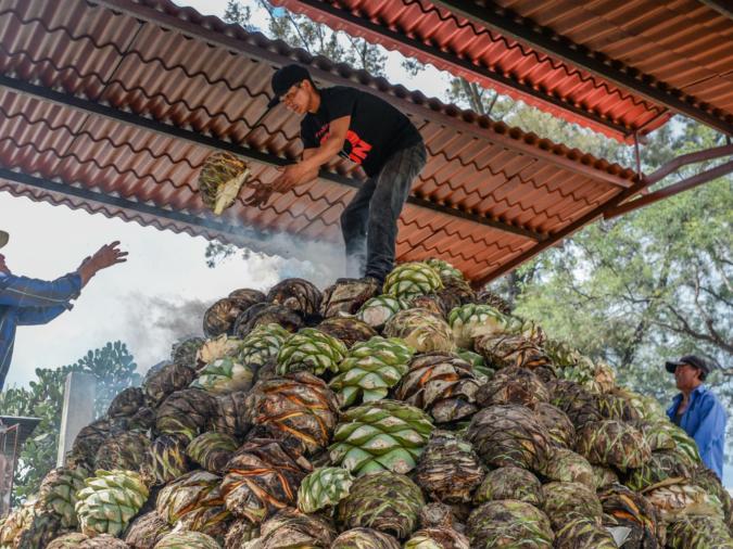 Corte Vetusto mezcal agave