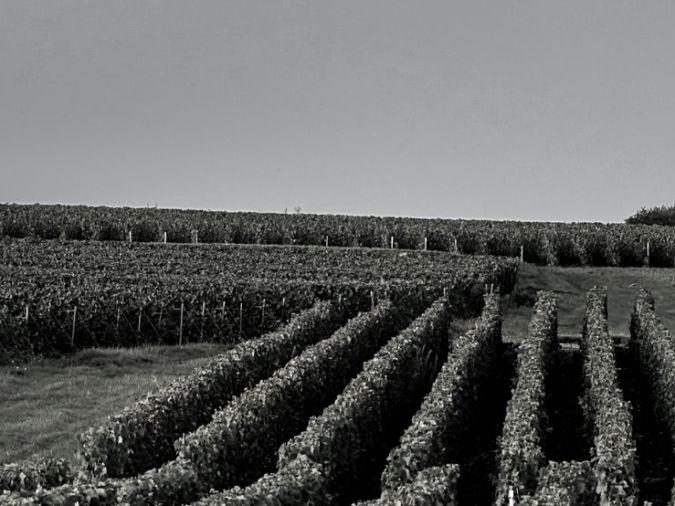 One of Veuve Clicquot's vineyards