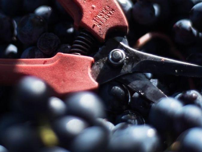 Cab Franc grapes