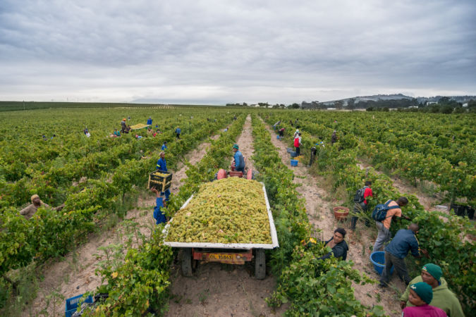 People working to harvest in Stellenrust