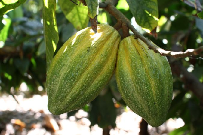 A cacao tree replanted by chocolate delivery service Original Beans