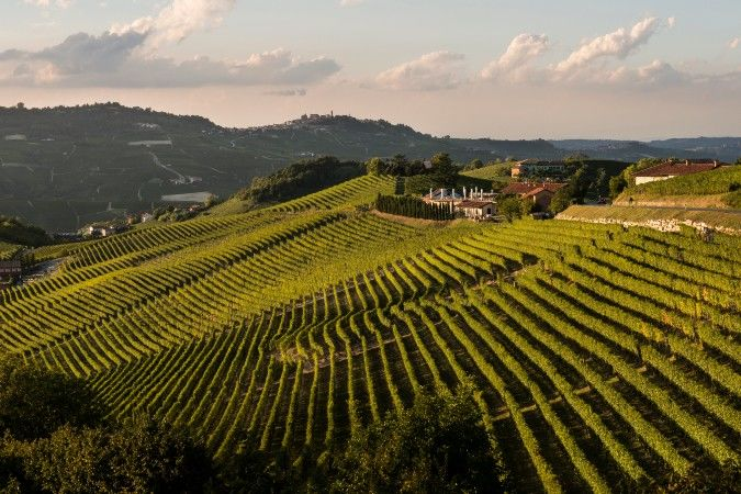 Nebbiolo growing in Italy's Piedmont - Italian wine