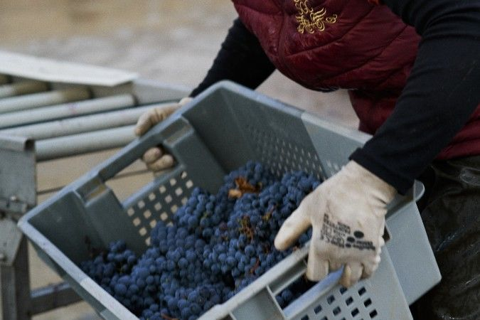 Handpicked grapes in Bordeaux