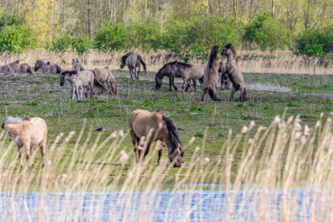 Wild Horses At Oostvaardersplassen