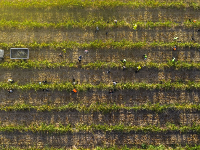 Duy Dash Vintage harvest from above - wine photographer of the year