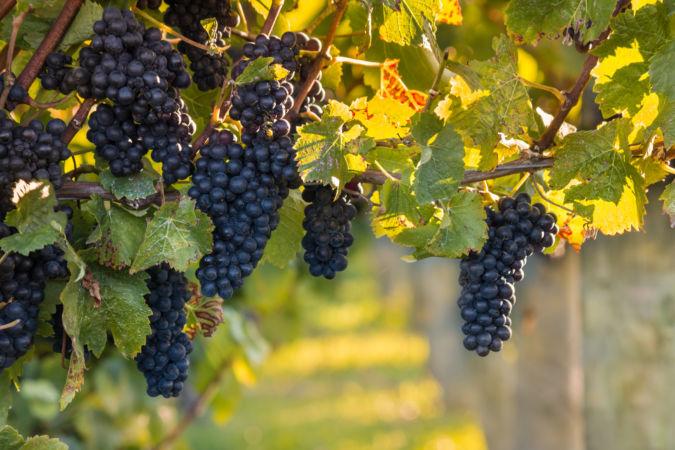 Pinot Noir in New Zealand vineyard