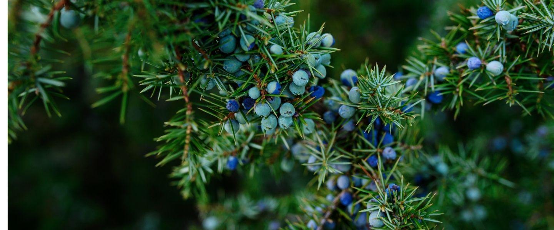 Juniper berries - London dry gin
