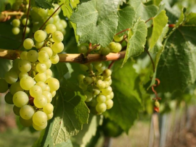 Langham Estate – English sparkling wine gapes up close