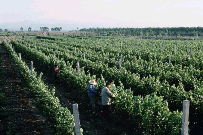 Workers in the Grace Vineyard in Chinese wine region Shanxi