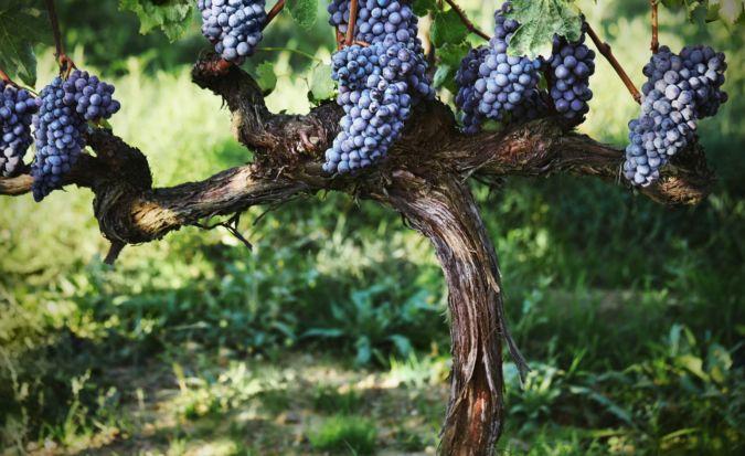sangiovese grapes at Bondi-Santi's vineyard