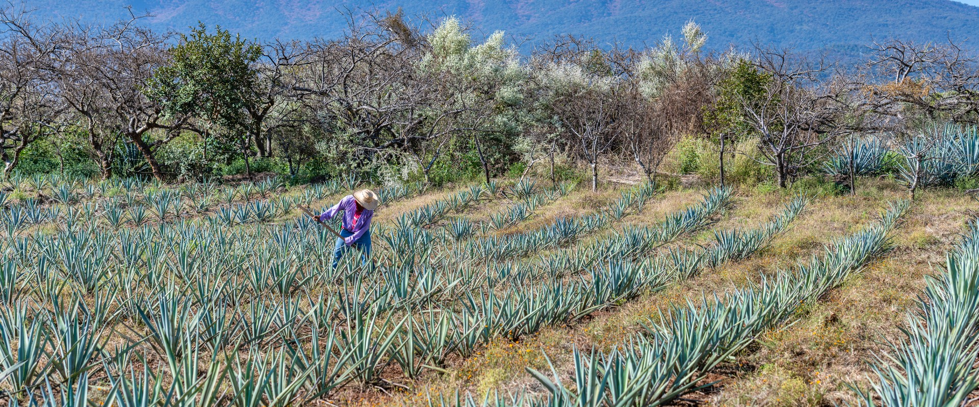 agave field worker in Mexico