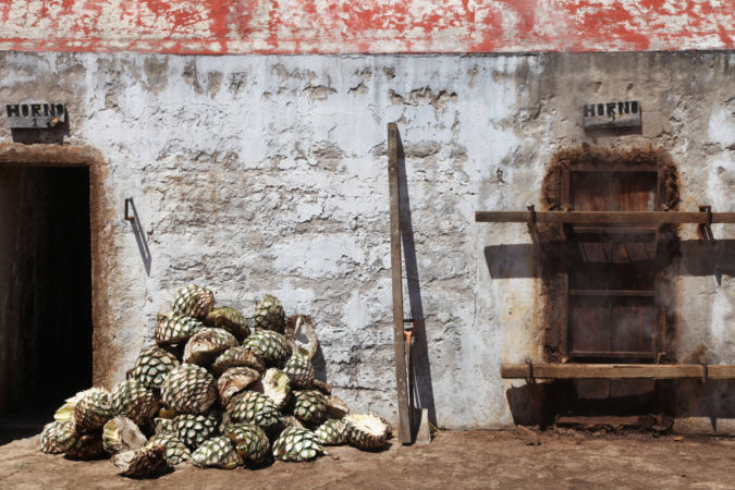 Agaves ready to be steamed for tequila production