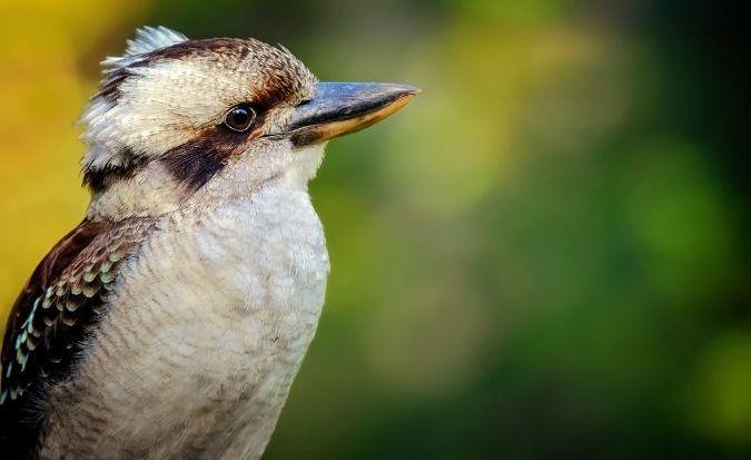 Kookaburra - Hodder