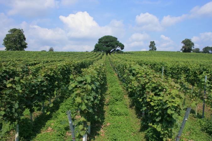 English Vineyard Stopham West Sussex