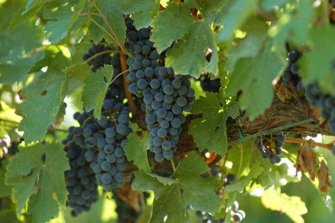 Lambrusco grapes on the vine