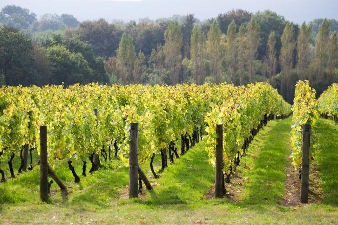 Nyetimber Chardonnay vineyards