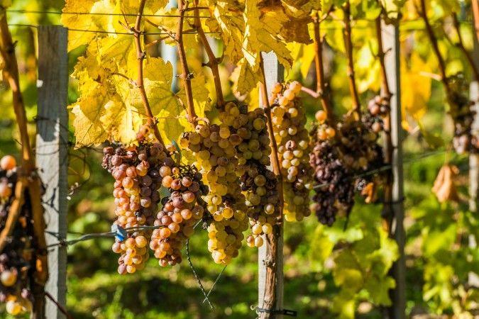 Tokaji furmint grapes in Hungary