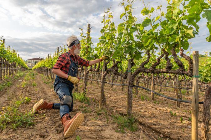 Marco-Simonit-Tuscan-vineyard