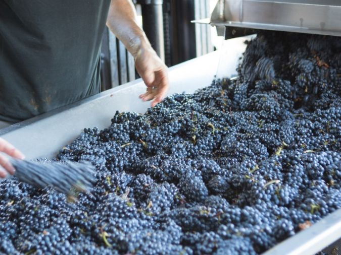 pinot noir grape sorting in willamette valley, oregon