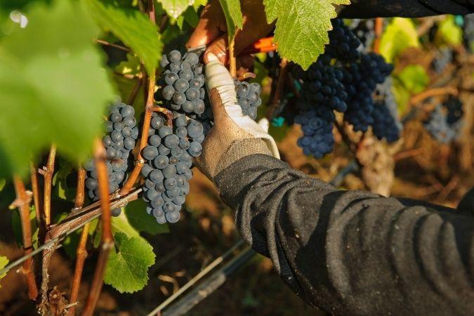 Pinot Noir harvest