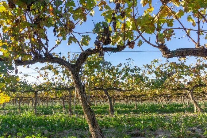 Cava vineyard