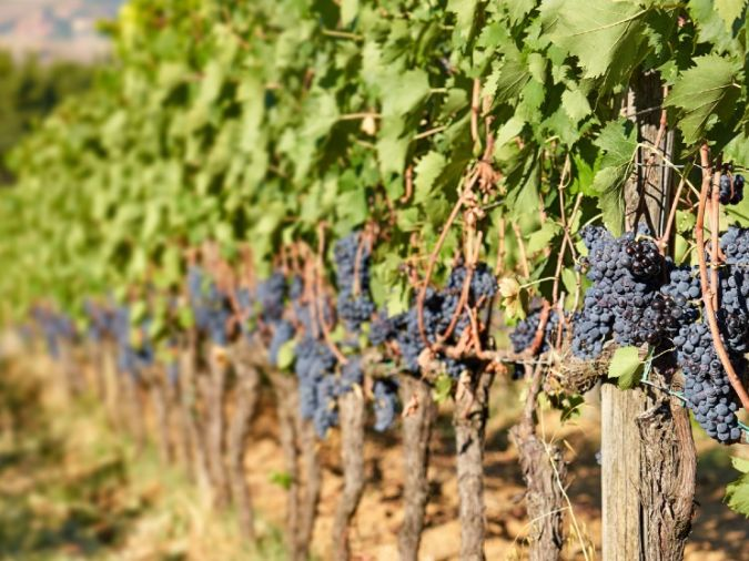 sangiovese grapes on the vine in montalcino
