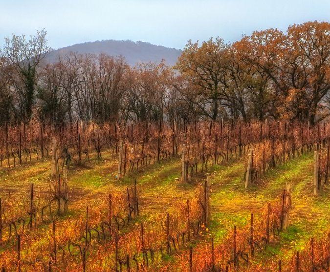 russian vineyard autumn