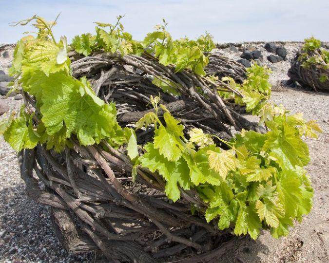 Basket vine in santorini, greece