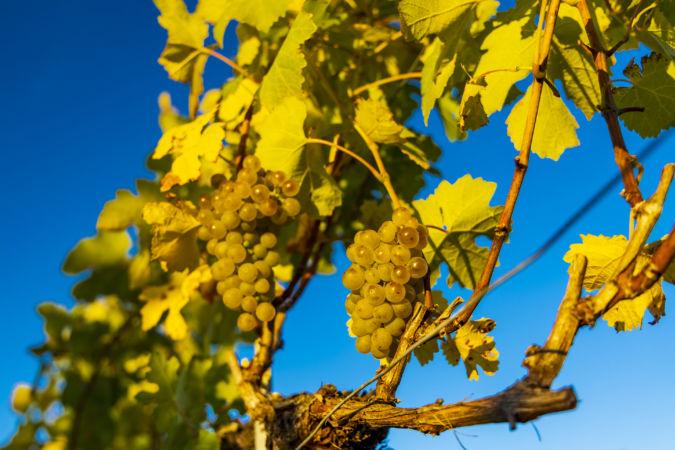 Austria white grapes
