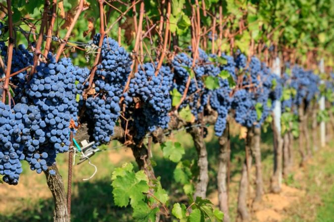 italian red wine grapes on the vine