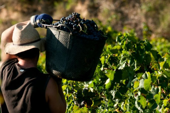 man carries red wine grapes at spanish vineyard harvest